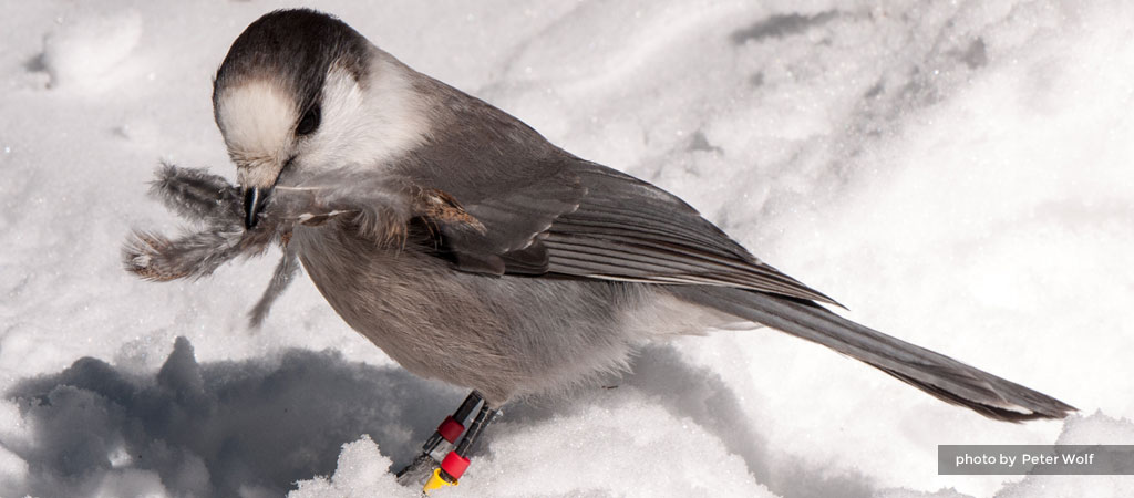 Gray Jay Nesting Material