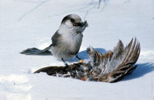 Gray Jay collecting feathers for nest lining