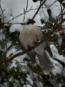 Gray Jay on branch