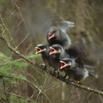 Baby Gray Jays chirping