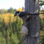 Gray Jay perched on side of tree