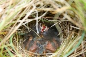Sparrow babies in nest