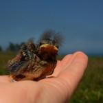Baby Savannah sparrow