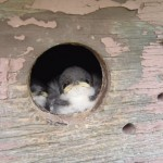 Tree swallow nestlings peeking out from wooden nesting box