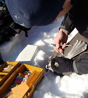 Measuring Gray Jay