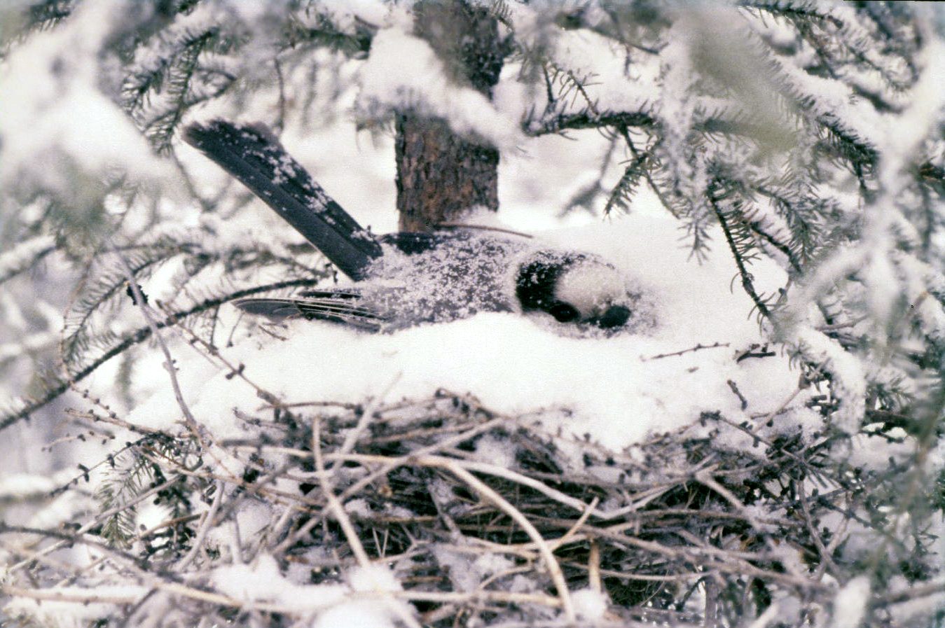 Gray Jay on nest