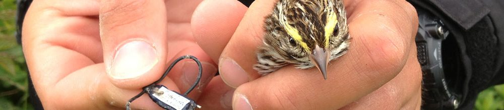 Savannah Sparrow with Geolocator