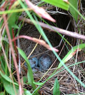 savannah sparrow nest