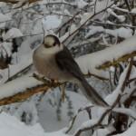 Gray Jay on snowy branch